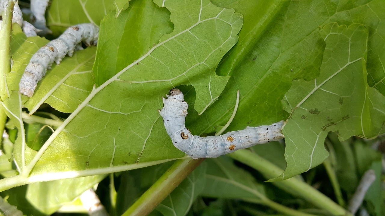 picture of silkworms